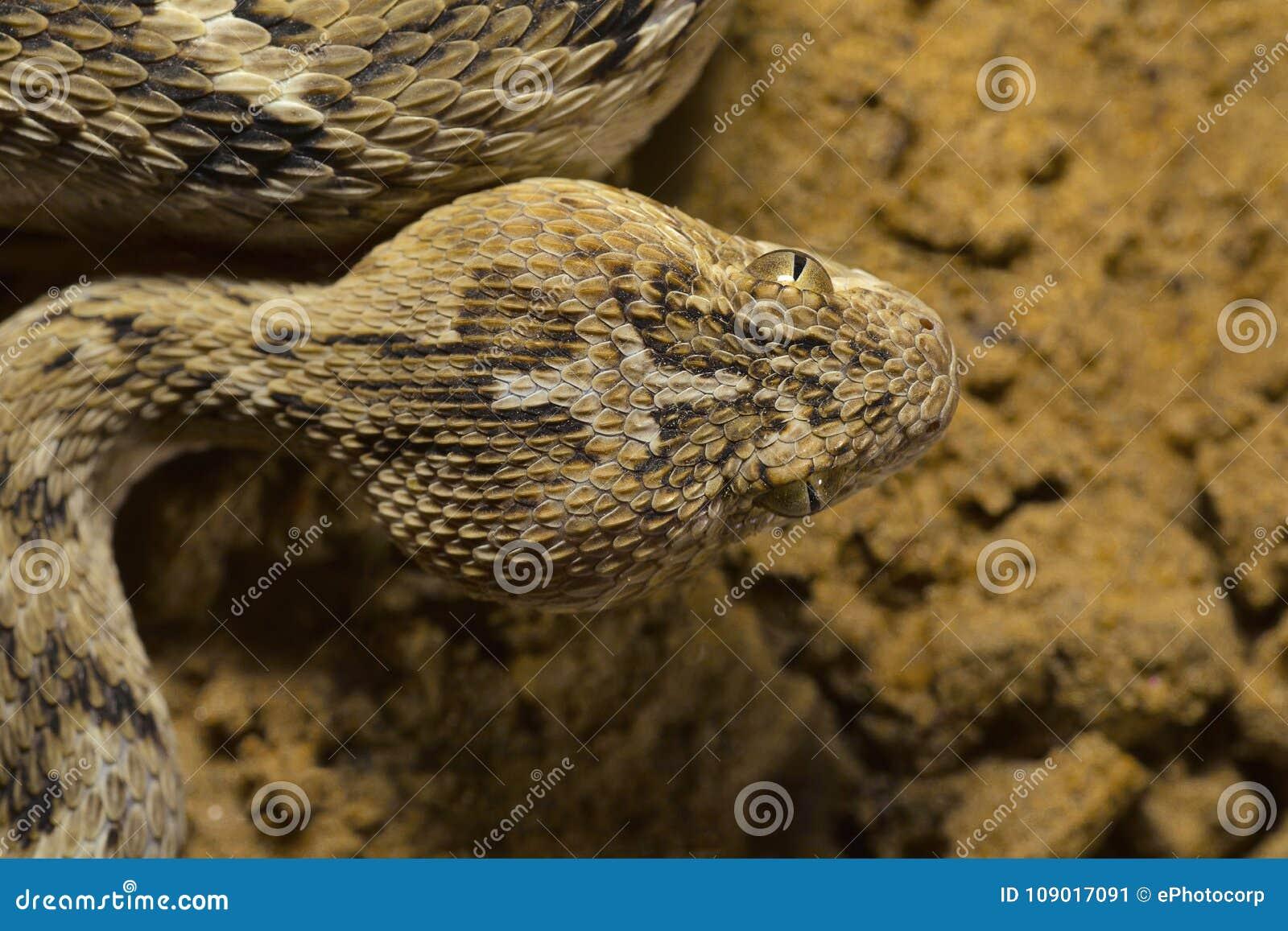 Sochurek`s Saw-scaled Viper, Echis Carinatus Sochureki Closeup of Head. Desert National Park