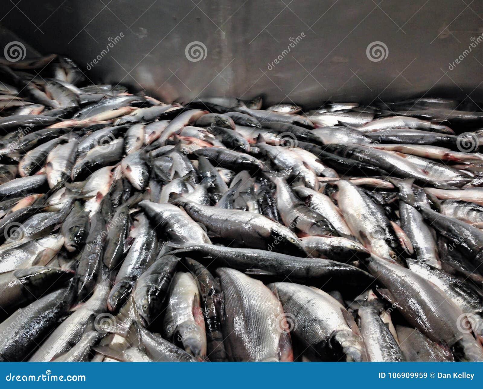 Sockeye łososia przerób w Alaska