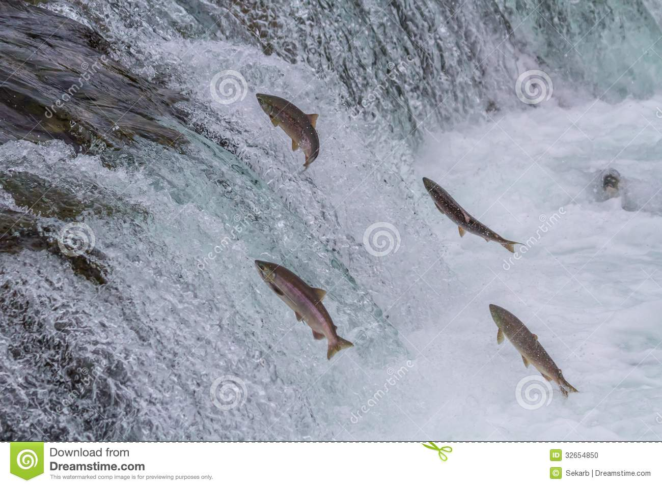 Sockeye salmon jumping up Brooks falls during the annual migration at ...