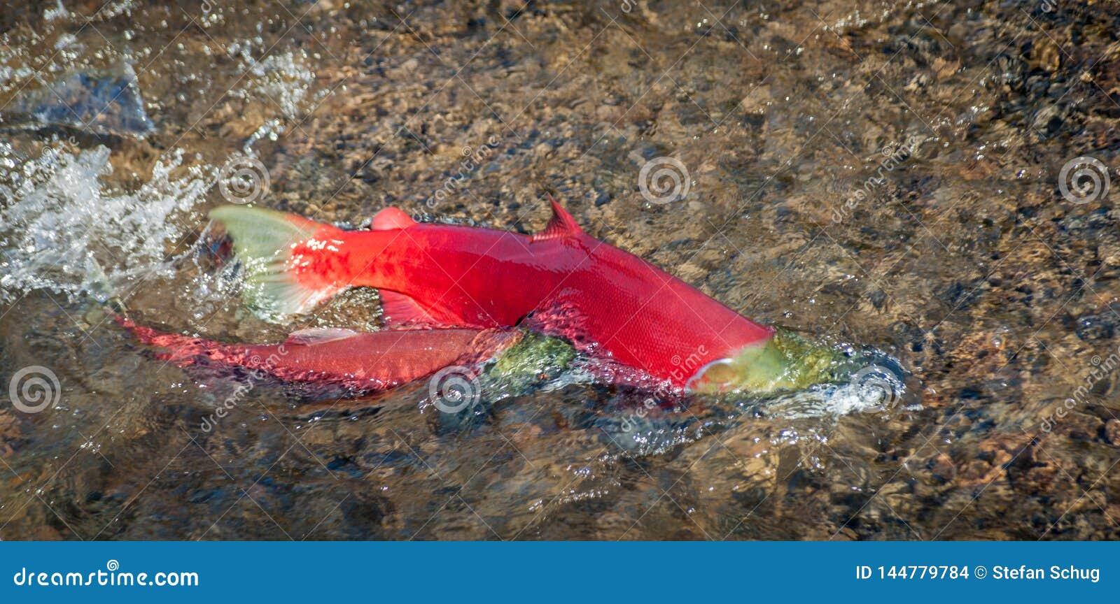 Sockeye Salmon Pair - jogo de acoplamento