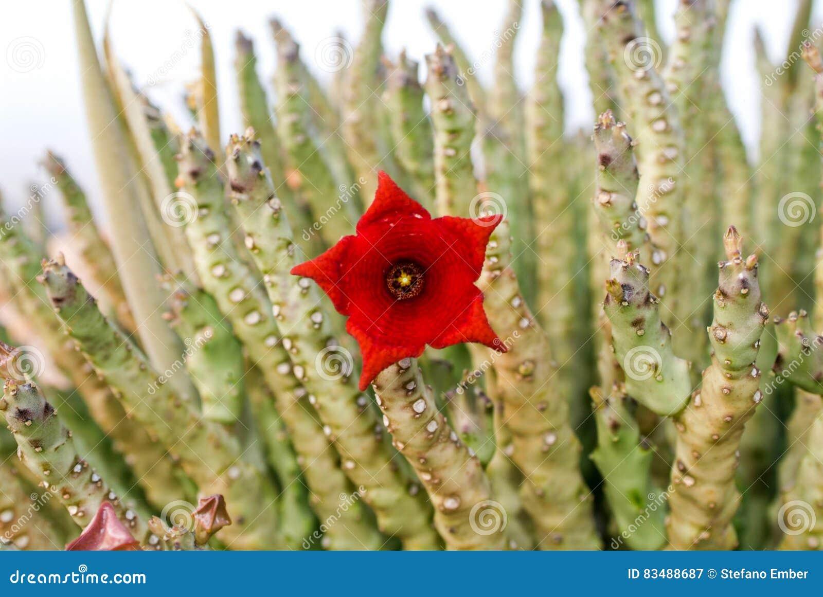 Socotran Caralluma kwiat kaktusowa roślina na Socotra wyspie