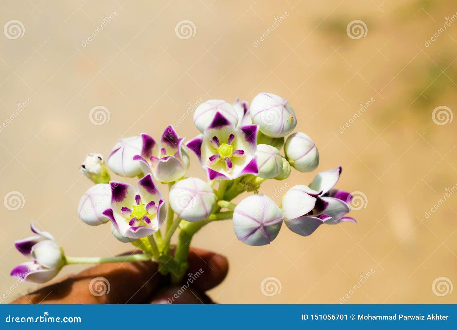Soda rośliny jabłczani kwiaty