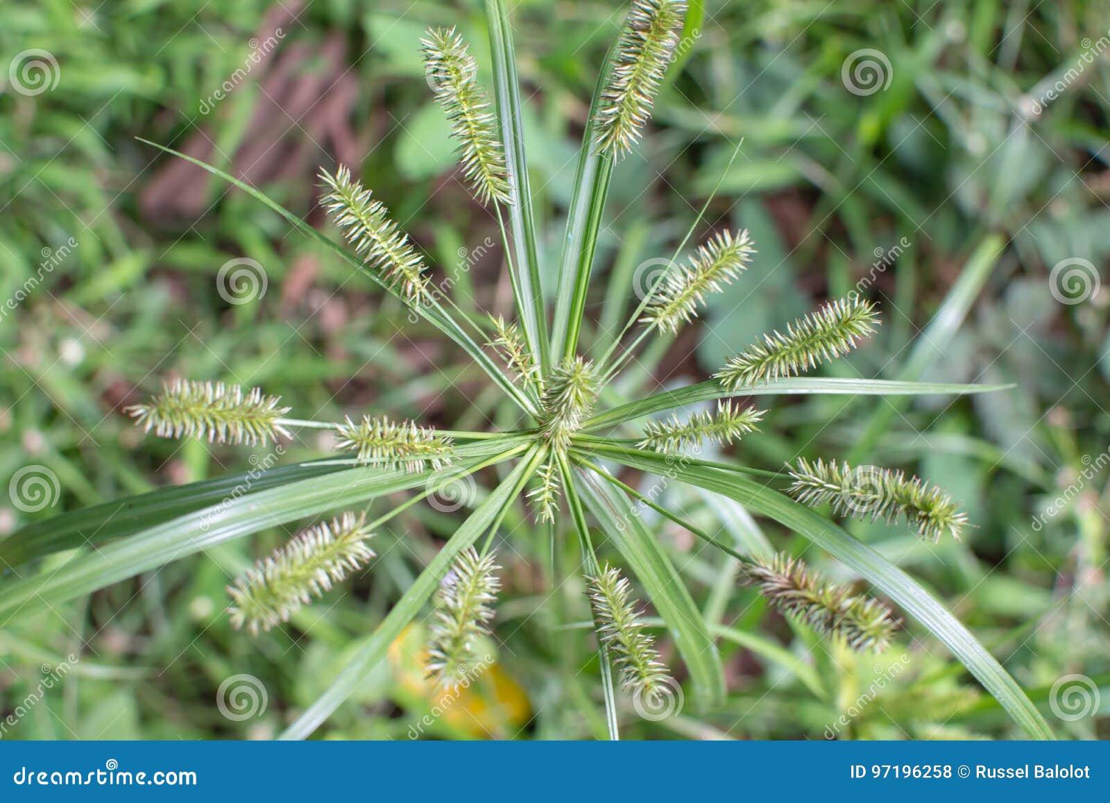 Soffagräs