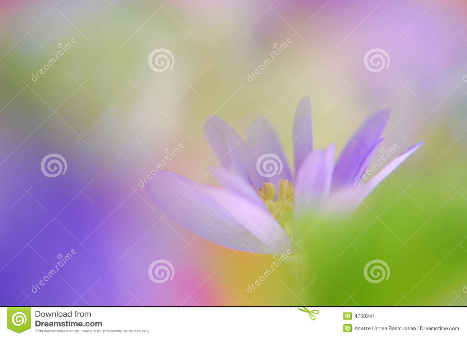 Soft blue anemone