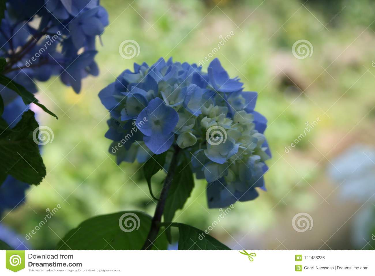 Soft blue hydrangea blue flowering bush stock photo image of download soft blue hydrangea blue flowering bush stock photo image of plant blue izmirmasajfo