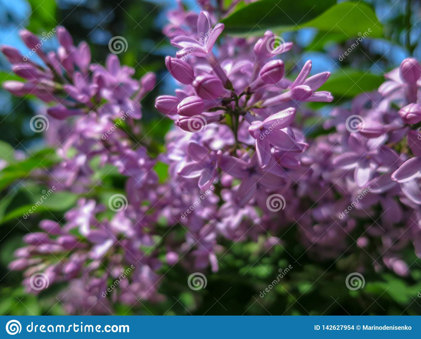Soft blurred macro focus of pink lilac Syringa microphylla flowers on blurred bush. Spring bloom on a sunny day