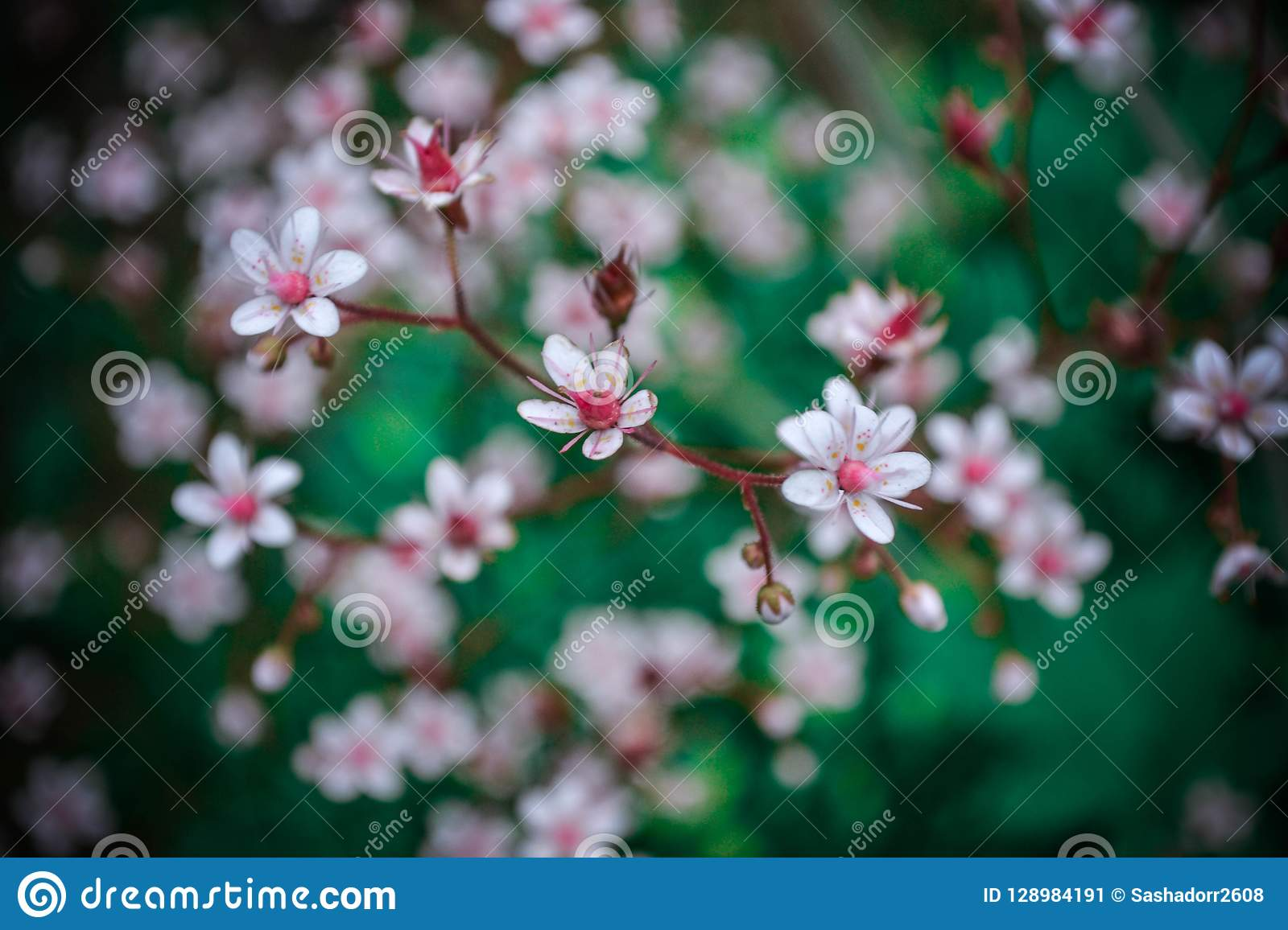 Soft cherry flowers in your hart
