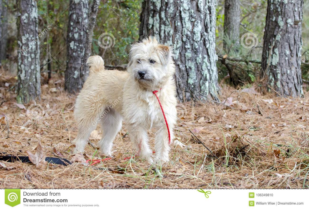 Soft Coated Wheaten Terrier Mixed Breed Dog Stock Photo Image Of Stock Photography 106349810