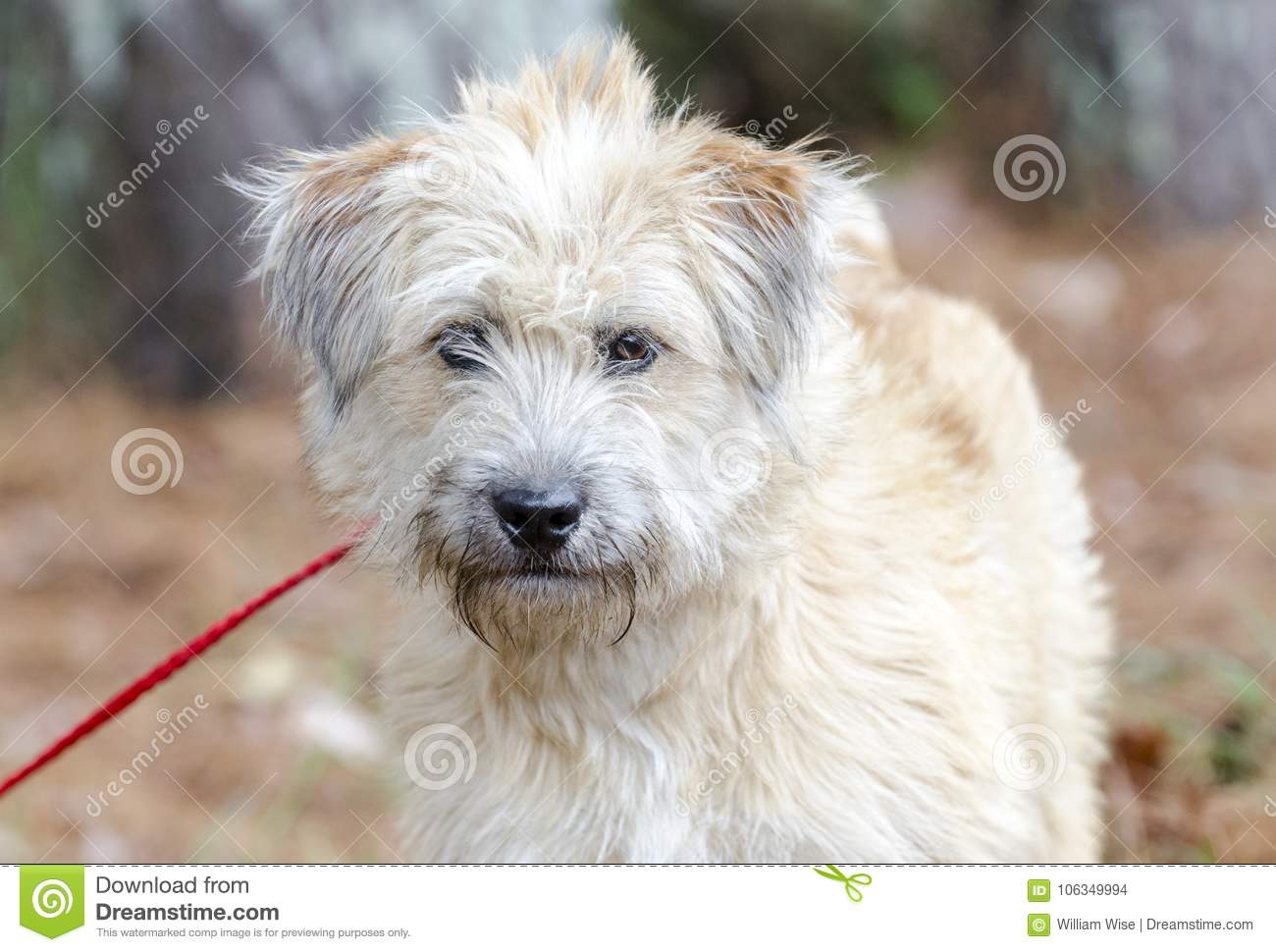 Soft Coated Wheaten Terrier Mixed Breed Dog Stock Photo Image Of Adoptions Scruffy 106349994