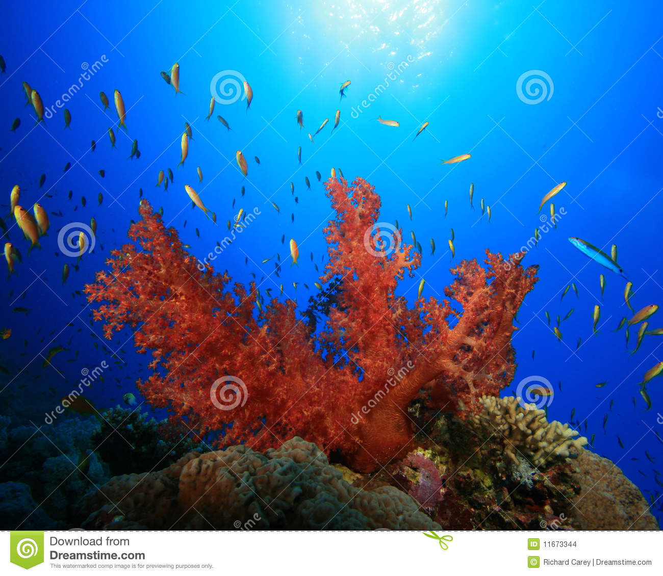 Colorful soft coral and Lyretail Anthias in blue water with sun in ...