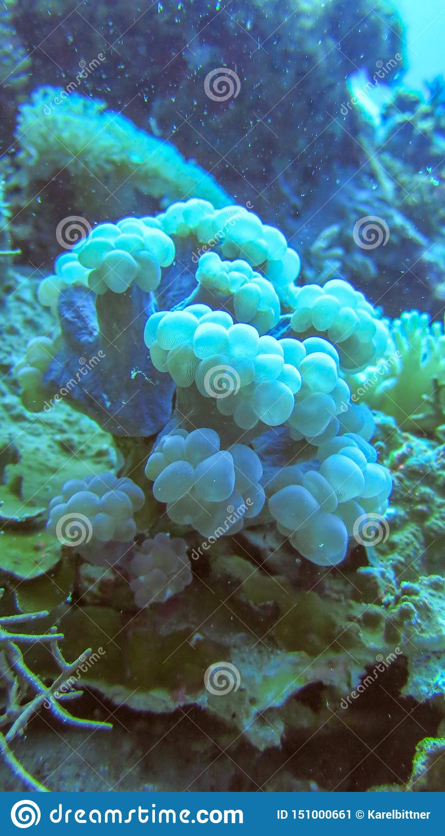 Soft coral of slightly blue color. Sea anemone. Dense overgrown coral bedrock. Colorful underwater life.