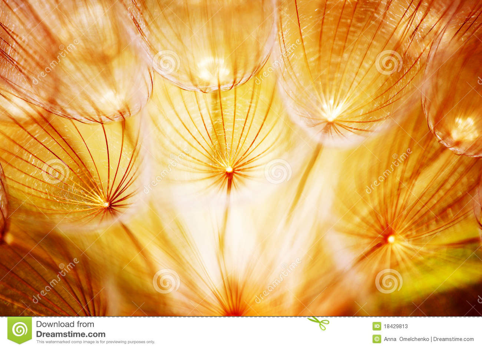 Soft dandelion flower