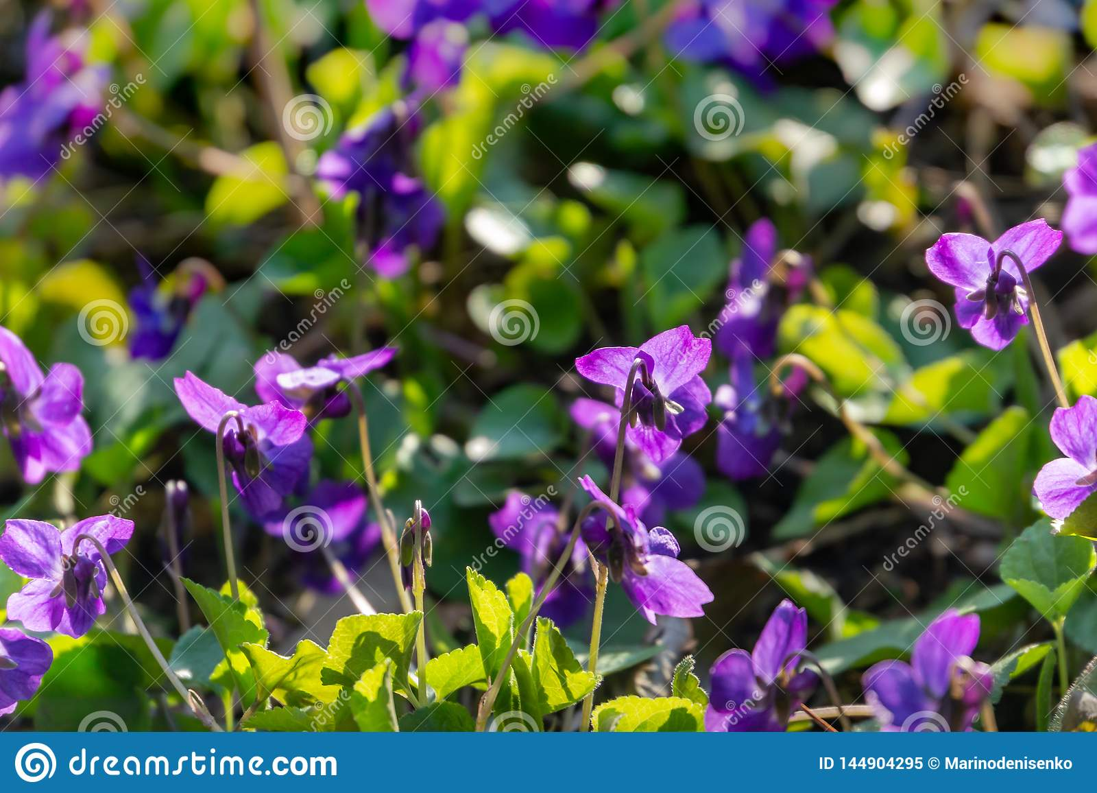 Soft focus against sun spring forest violets on background of blurred natural green. Heads of violets turned toward the sun