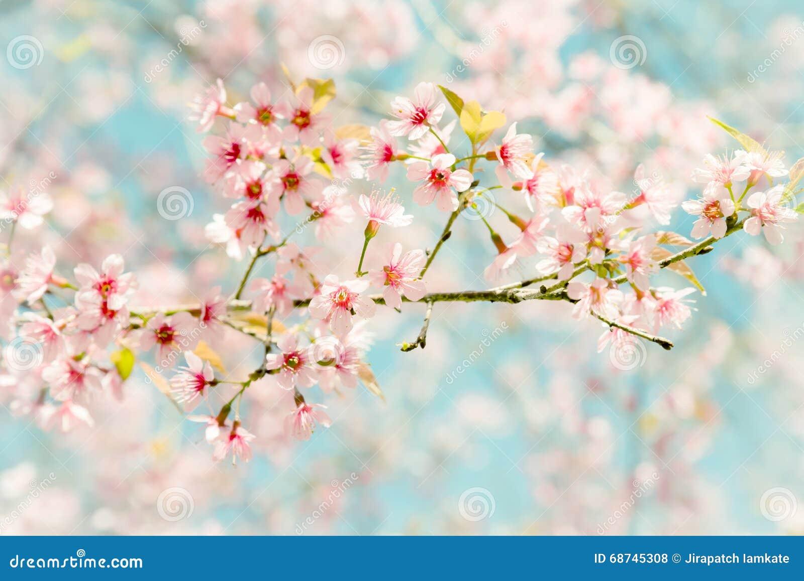 soft focus cherry blossom or sakura flower on nature