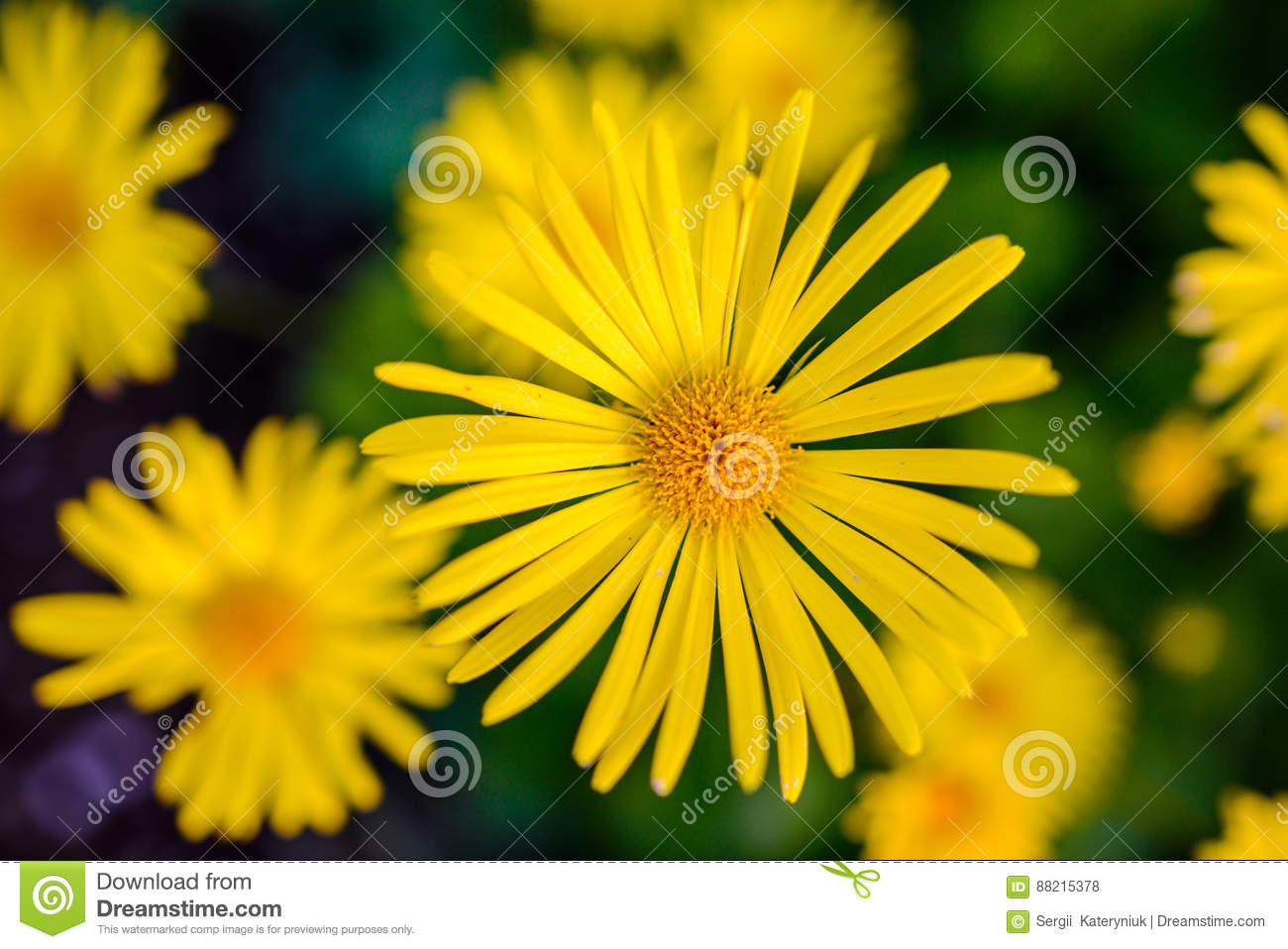 Soft Focus Close Up Of Yellow Flowers Stock Photo Image Of Meadow