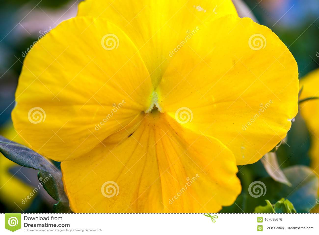 Soft Focus Of Close Up Yellow Pansy Flower Stock Photo Image Of
