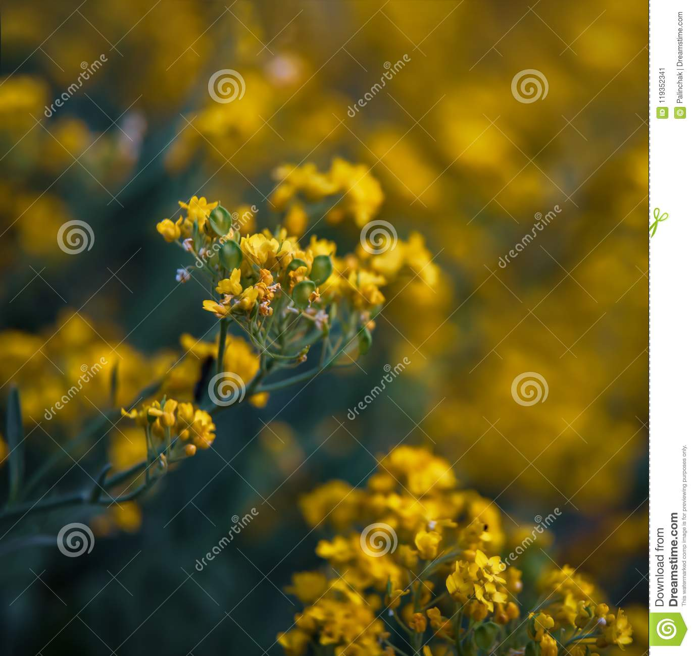 Small yellow flowers of aurinia saxatilis in the spring time stock soft focus image of small yellow flowers of aurinia saxatilis in the spring time in the garden common names include basket of gold goldentuft alyssum mightylinksfo