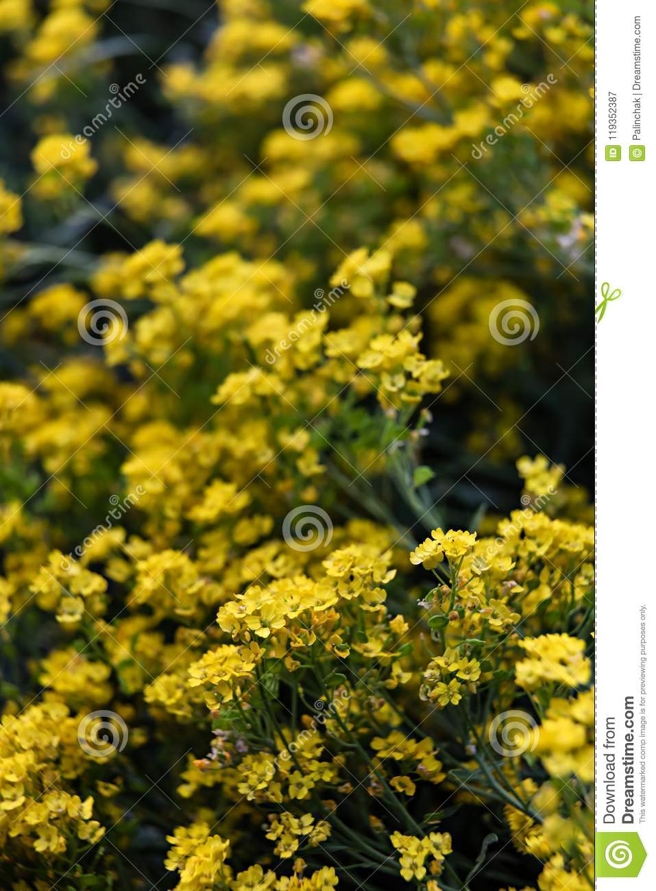 Small Yellow Flowers Of Aurinia Saxatilis In The Spring Time Stock