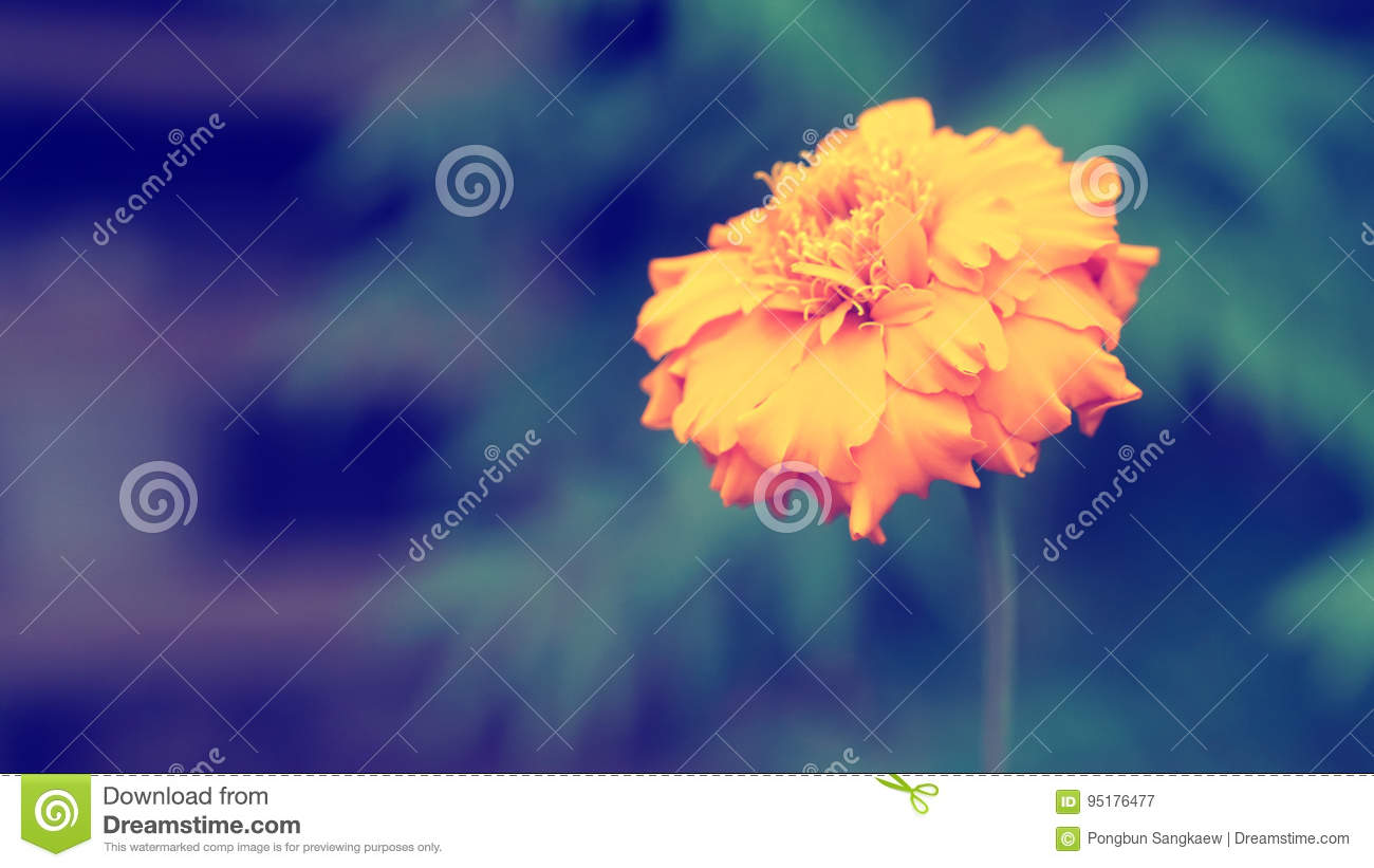 Soft Focus Marigold Flower Lonely Moody Background Stock Image