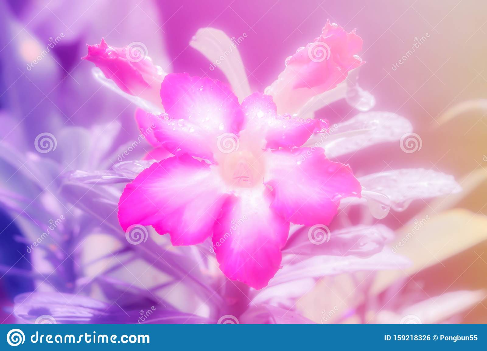 Soft Focus Pink Flower With Dew Drops Fresh Spring Nature