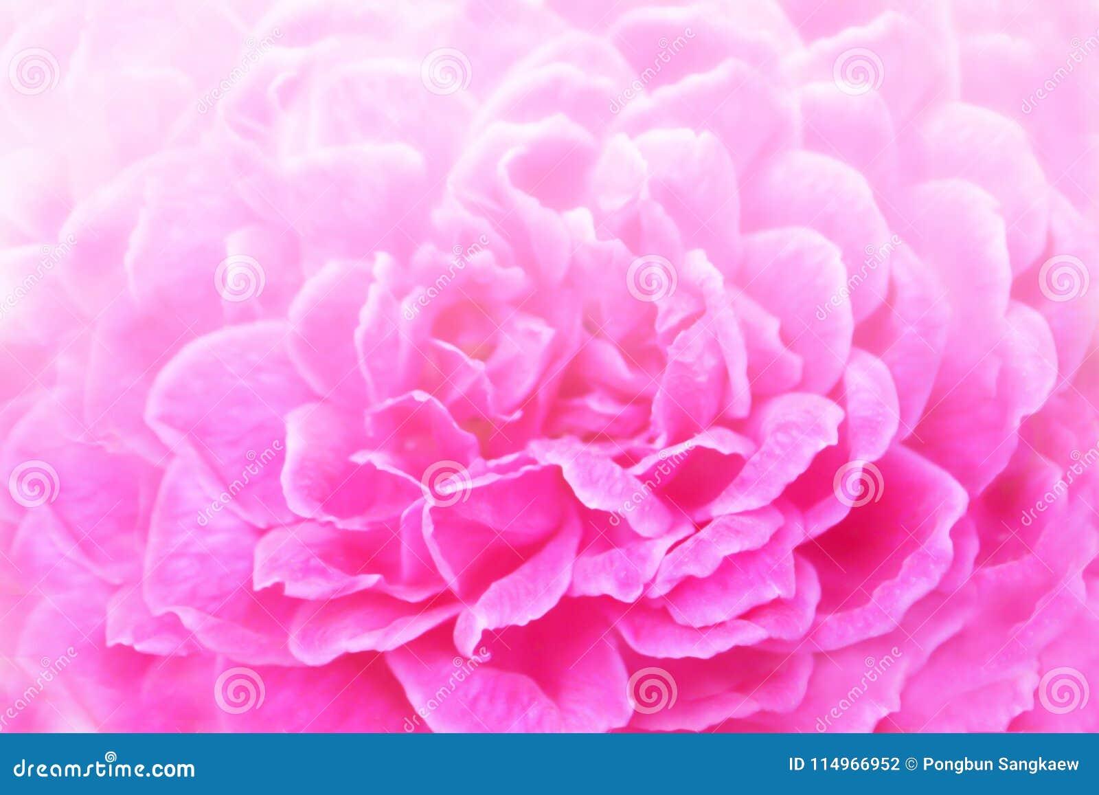 Soft Focus Of Pink Rose Sweetromantic Wedding Wallpaper Background