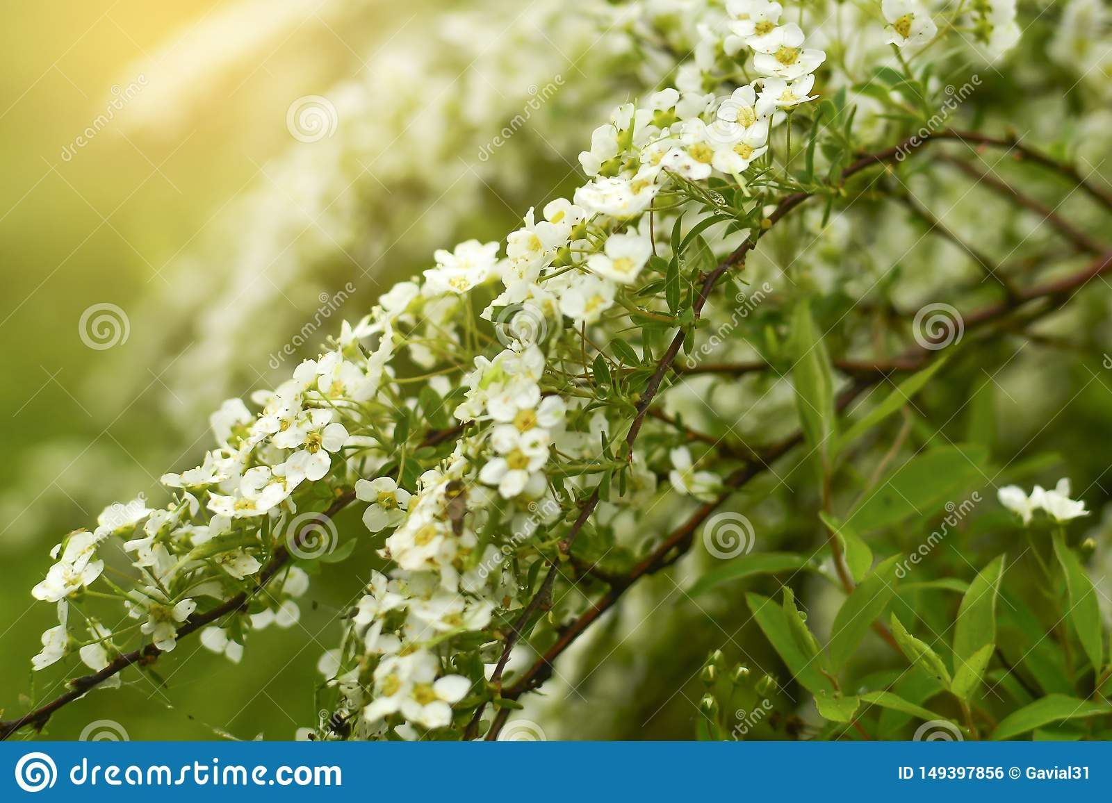 Soft focus. Spirea is an ornamental shrub from the Rosaceae family