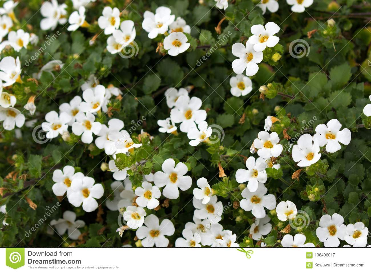 Soft focus of white Ornamental Bacopa flower with yellow pollen