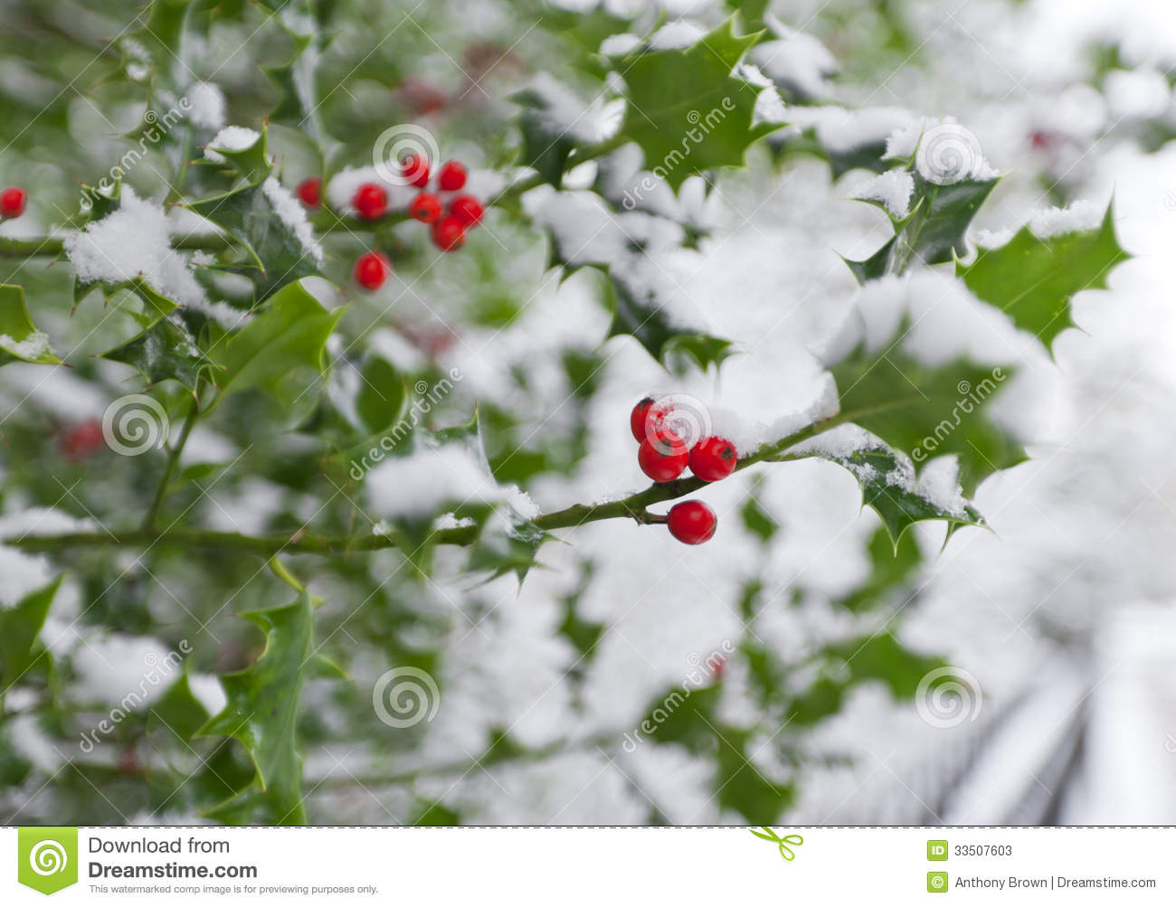 Soft Focus Winter Holly Stock Image Image Of Macro Berry
