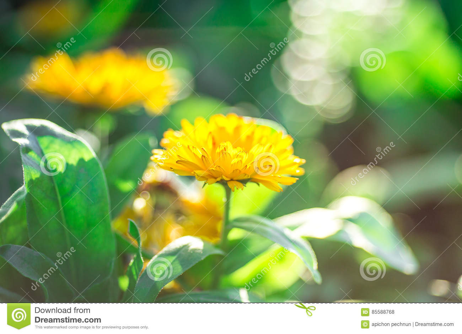 Soft Focus Yellow Flowers Beautiful Stock Photo Image Of Bright
