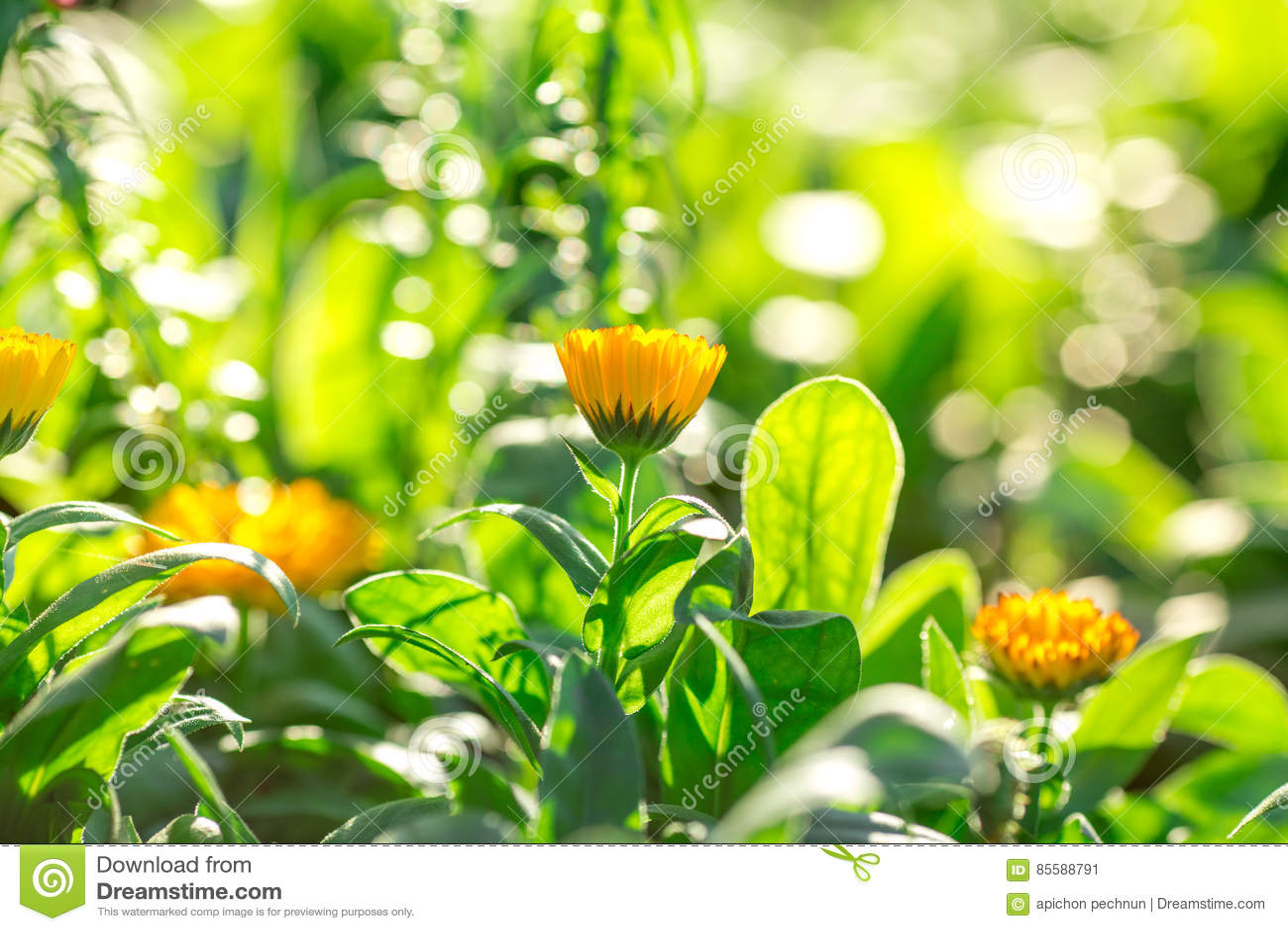 Soft Focus Yellow Flowers Beautiful Stock Image Image Of Nature