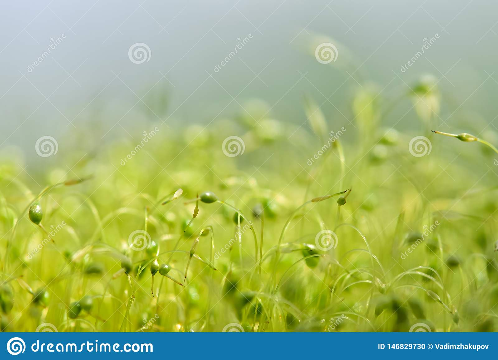 Soft focused close-up shot of green moss seeds with bokeh, blurred shining light