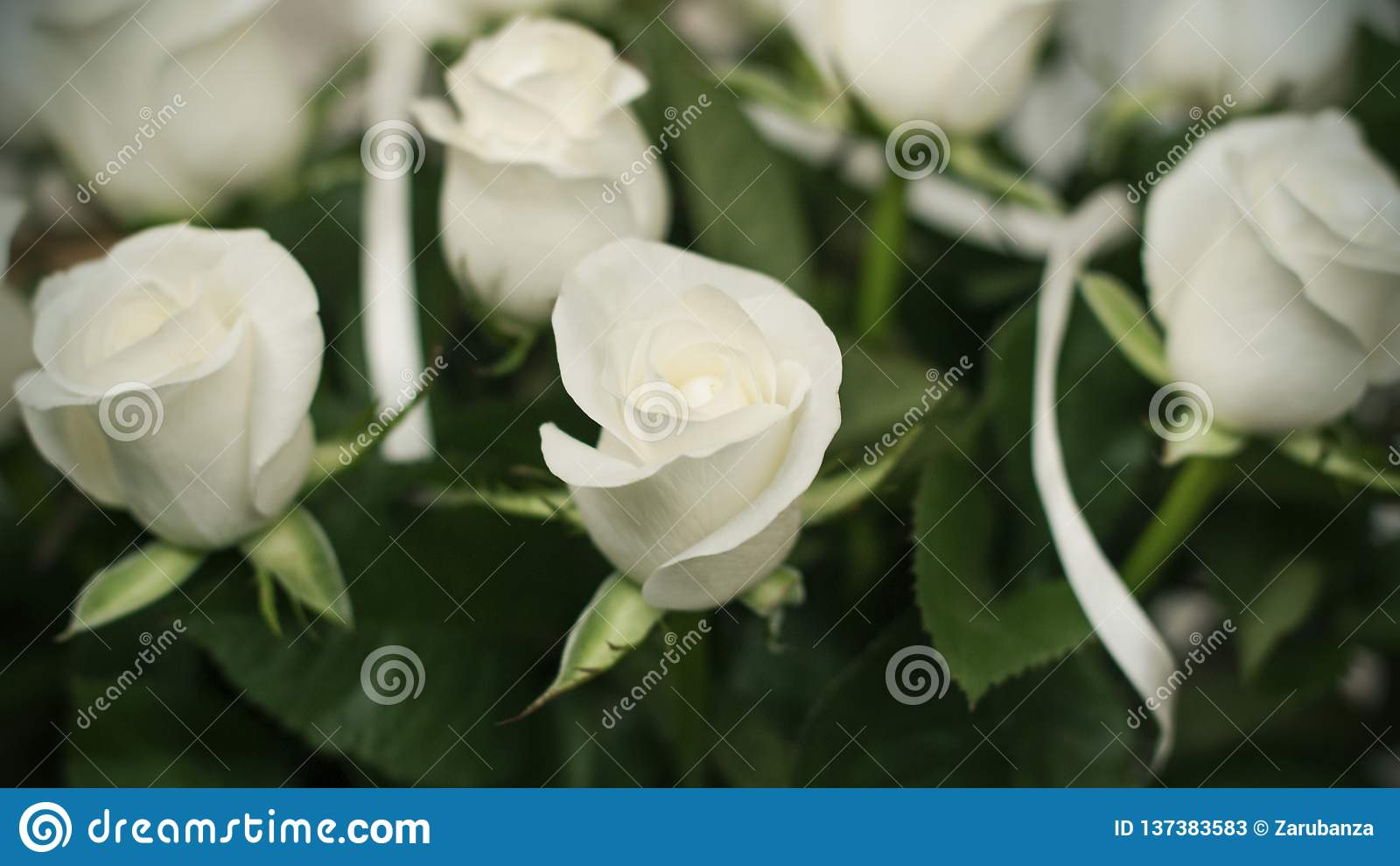 Soft full blown white roses as a background, clouse-up