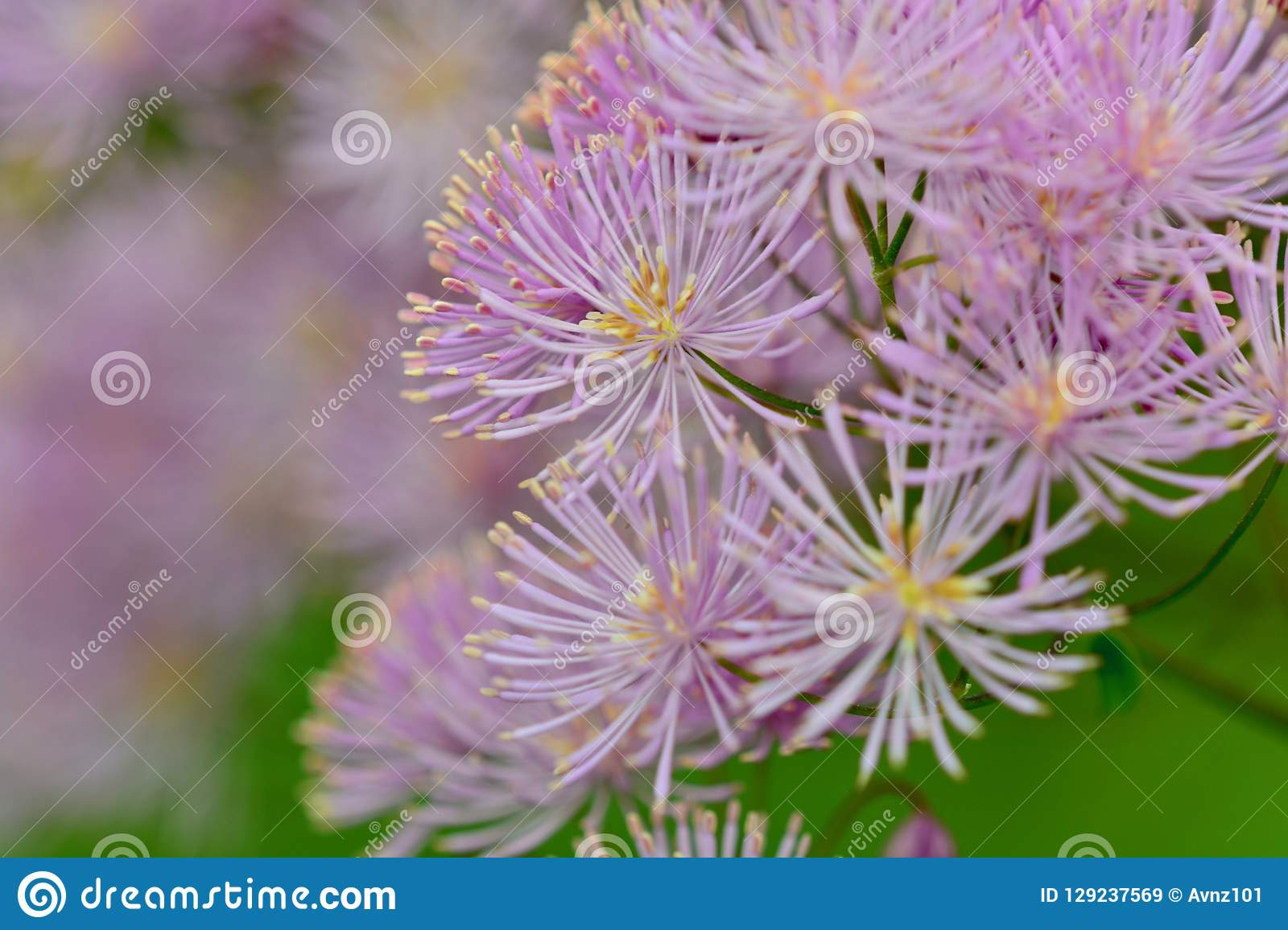 Close up photo of pink flower, resembling fireworks