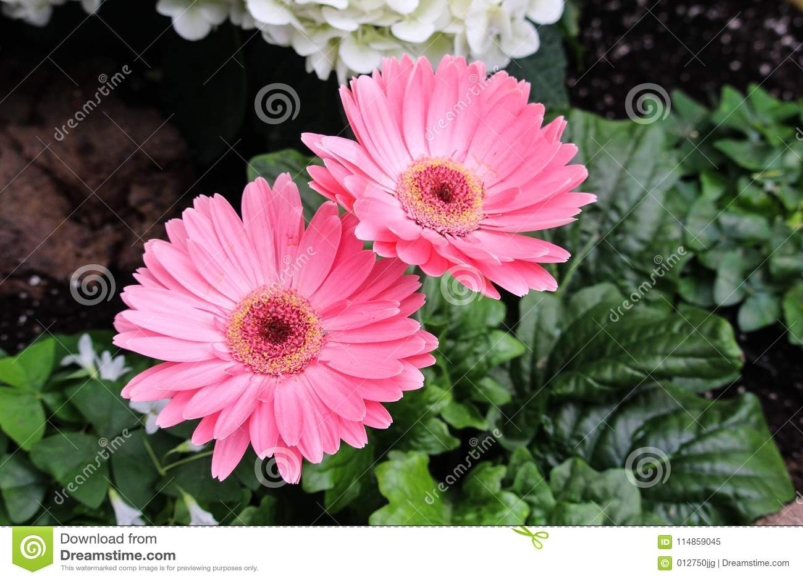 Soft Pink Gerbera Daisies Stock Image Image Of Soft 114859045