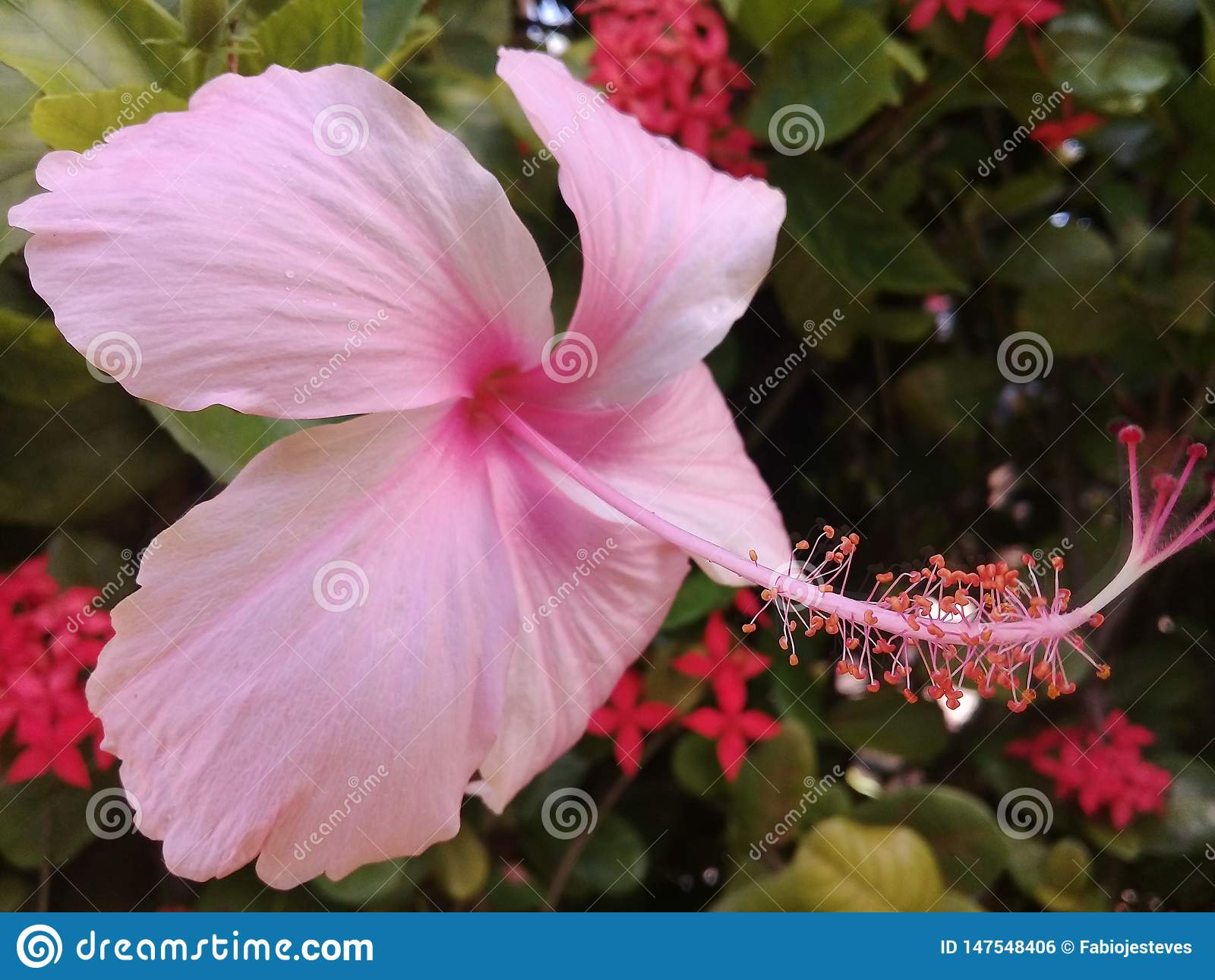 Soft pink hibiscus in a garden