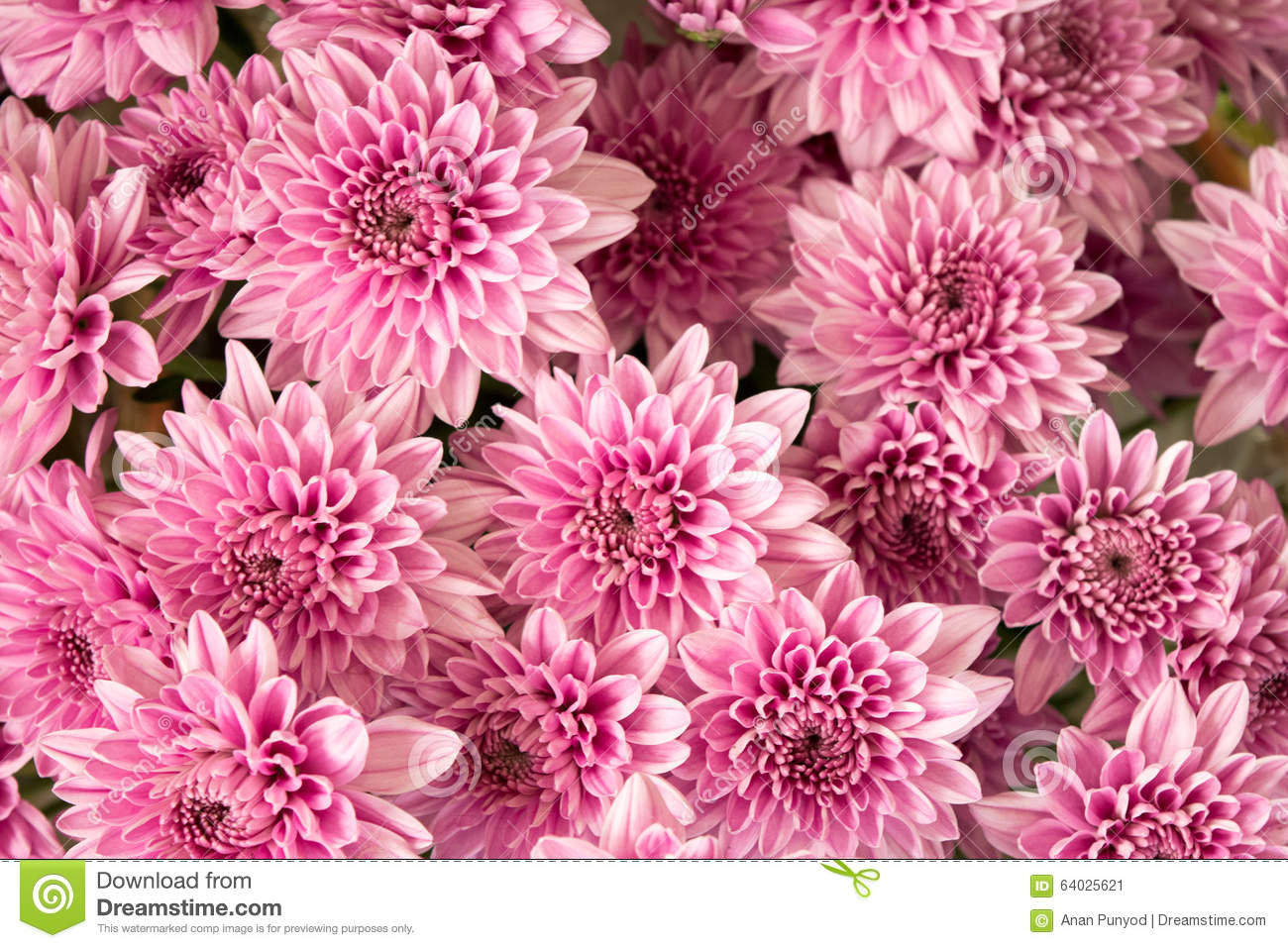 Soft pink purple Chrysanthemum flowers nature abstract background