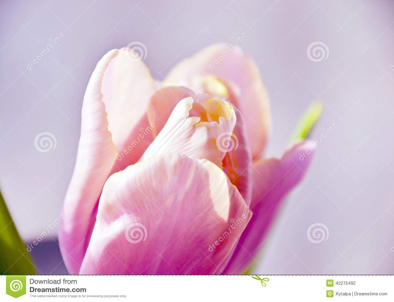 Soft pink tulip stock photo image 42275492 for Beautiful pastel colors