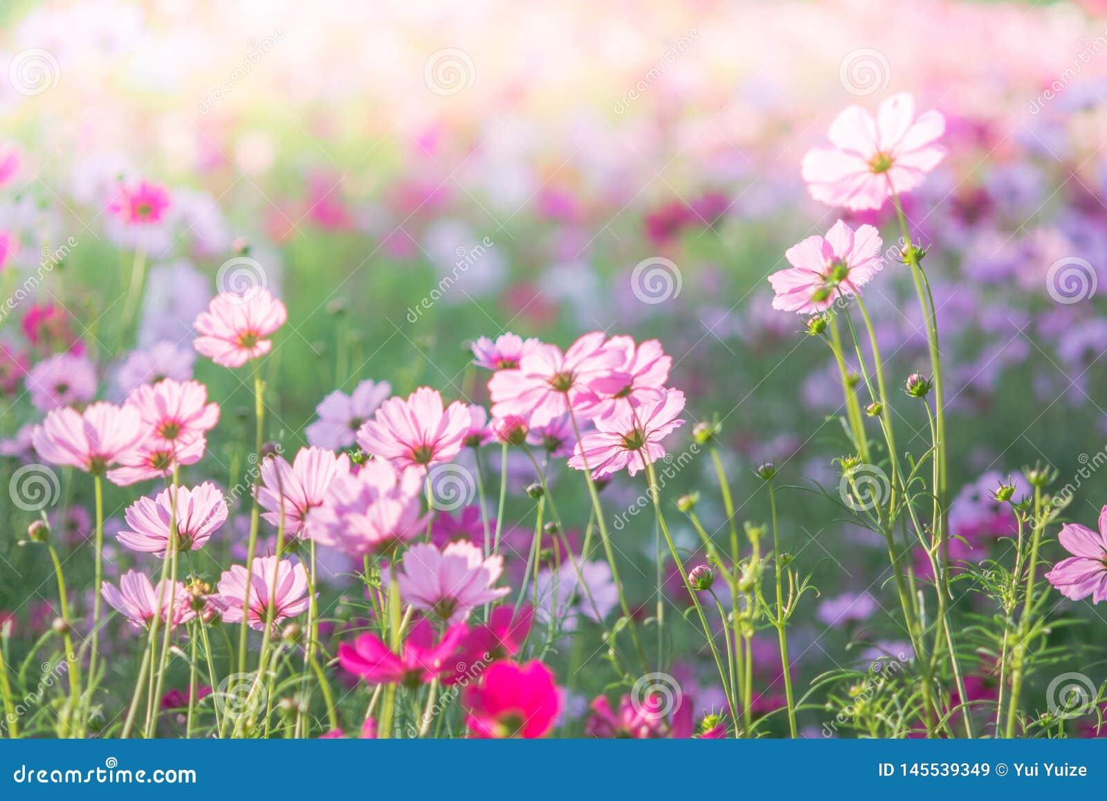 Pink Cosmos flowers field, landscape of flowers.