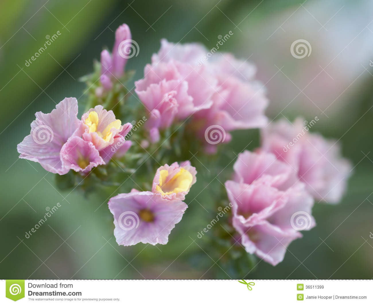 Soft Statice Detail Stock Image Image Of Macro Nature 36511399