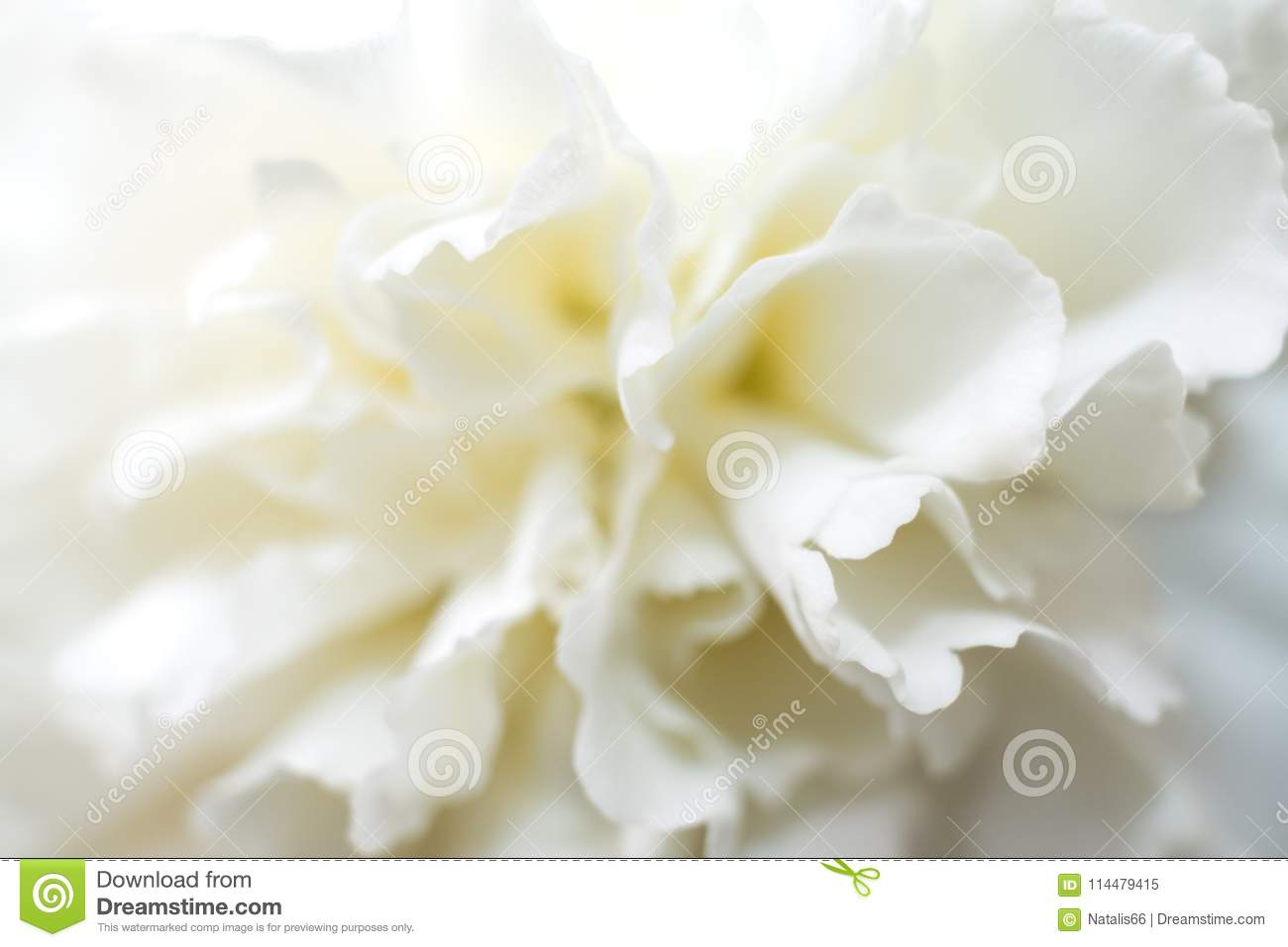 Soft White Carnation Flower With Gentle Petals. Stock Image - Image ...
