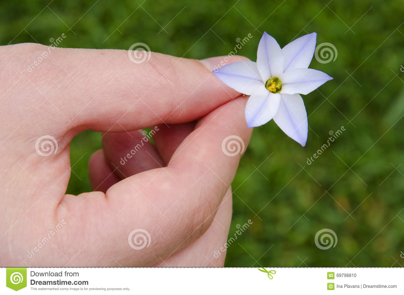 Soft White Spring Flower In The Mens Hands On A Green Grass