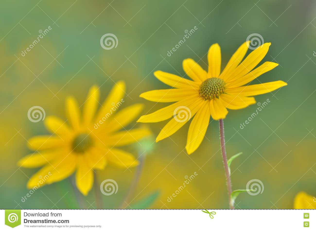 Soft Yellow Flower Stock Image Image Of Flower Susan 80926755