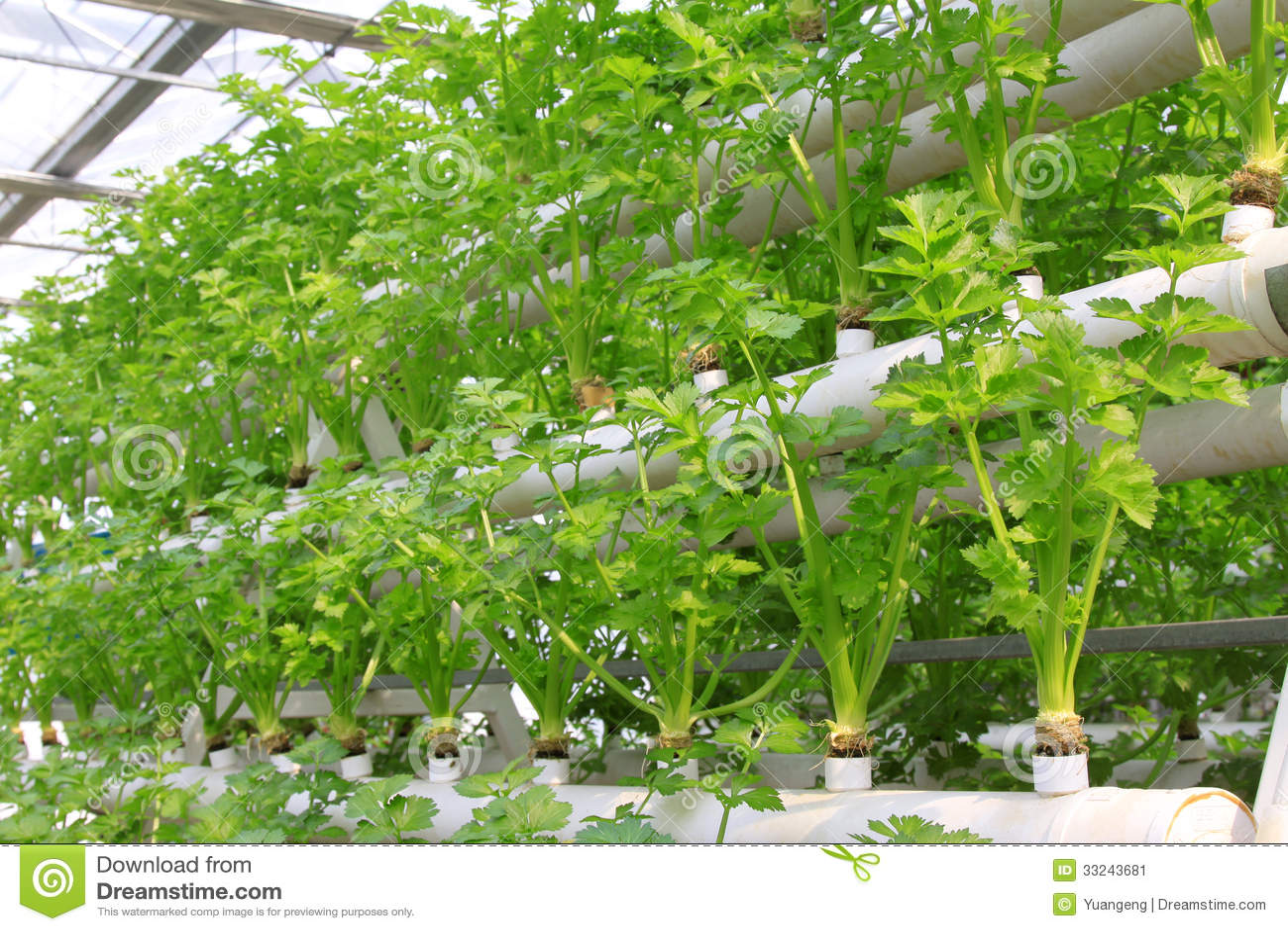 Soilless cultivation of green vegetables stock image for Soil less farming