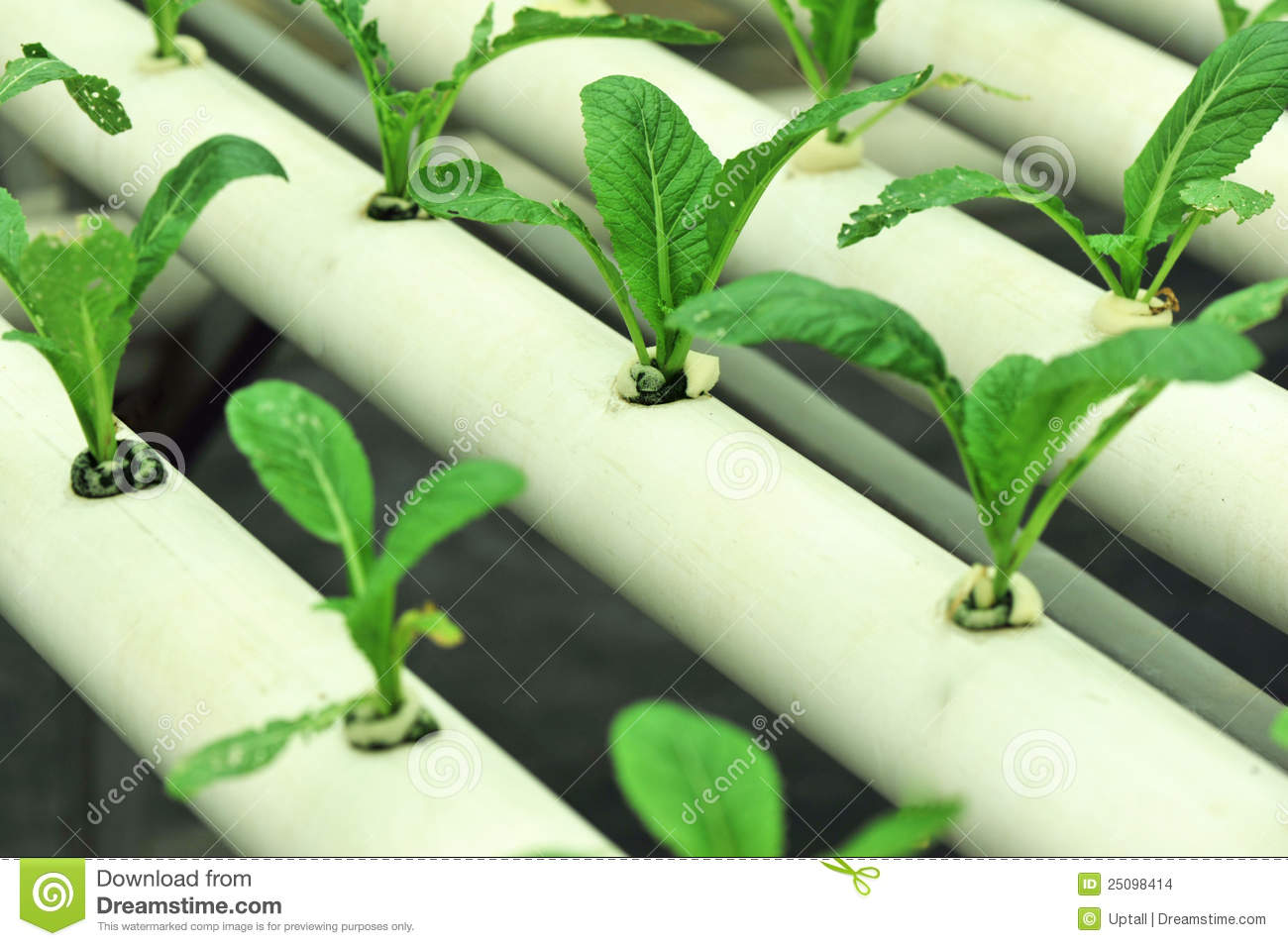 Soilless Culture Green Mustard Stock Images Image 25098414