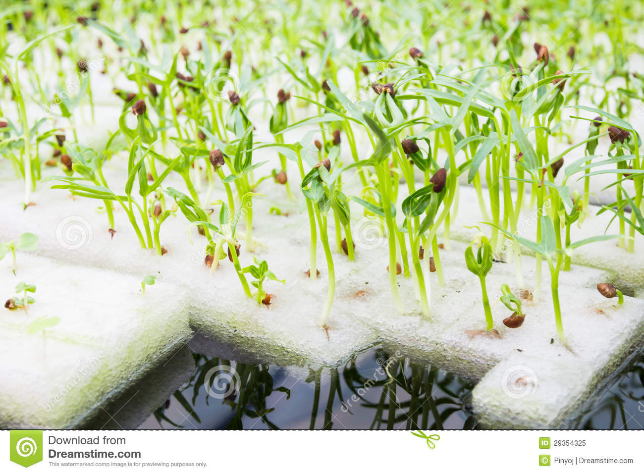 Soilless culture or hydroponic royalty free stock photo for Soil less farming