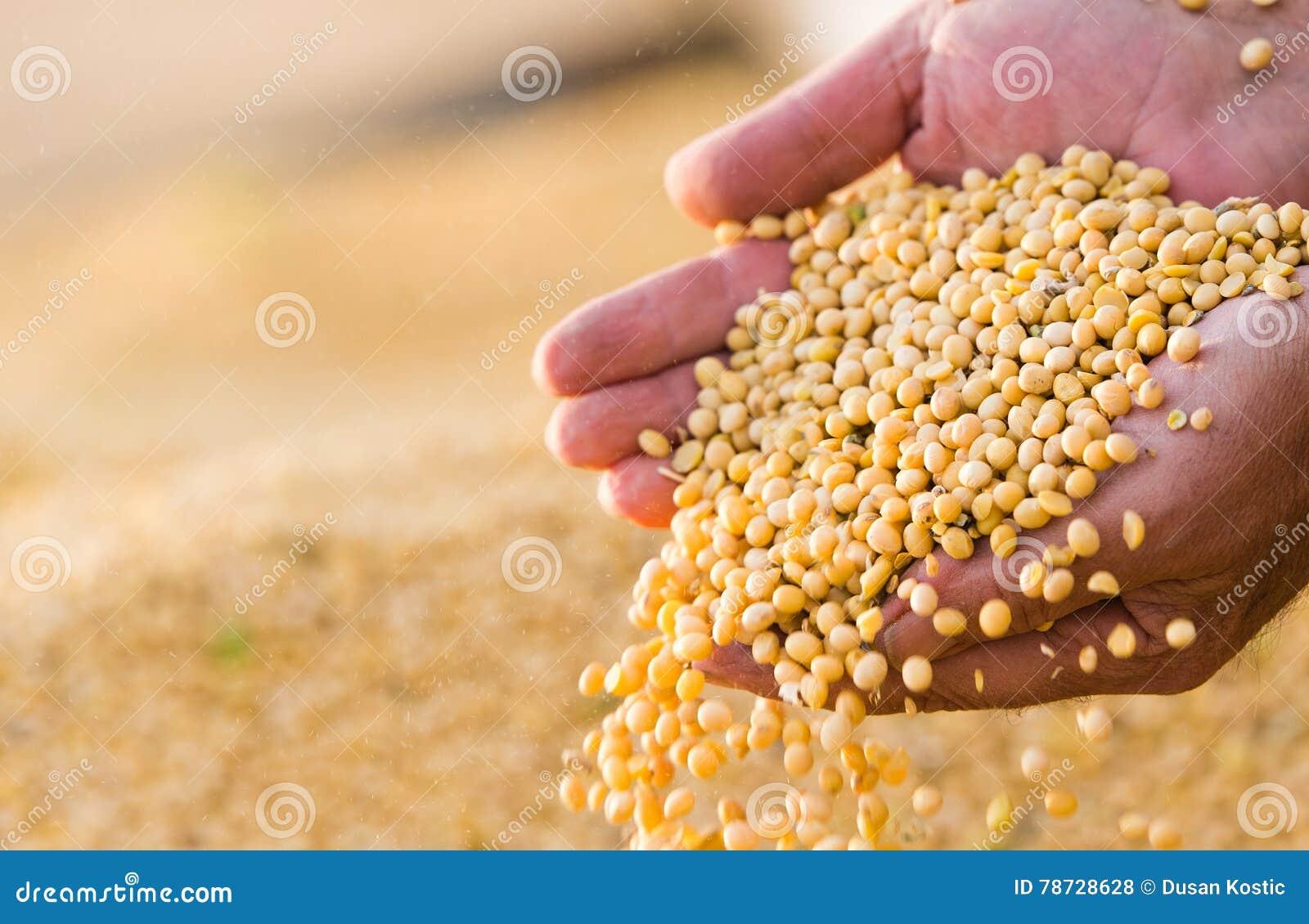 Sojabönan kärnar ur i händer av bonden