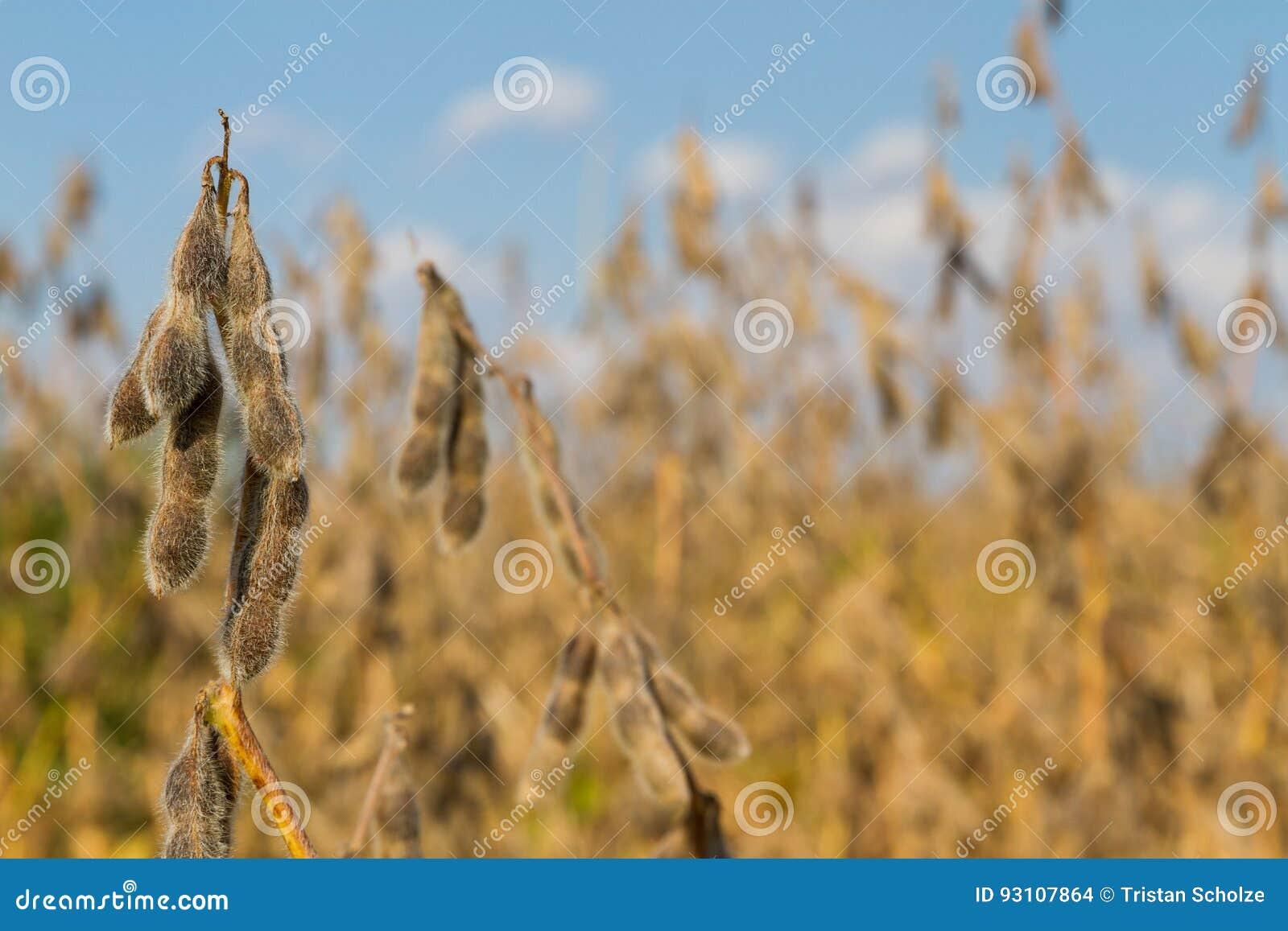 Sojabohnen-Ernte-Zeit