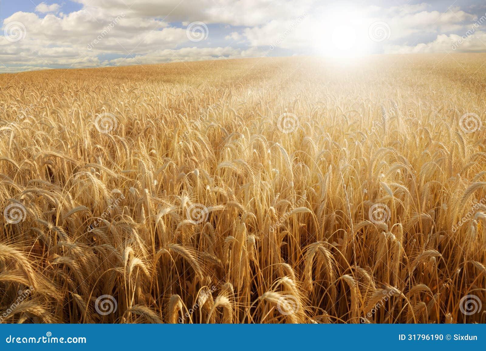 Sol över ett vetefält