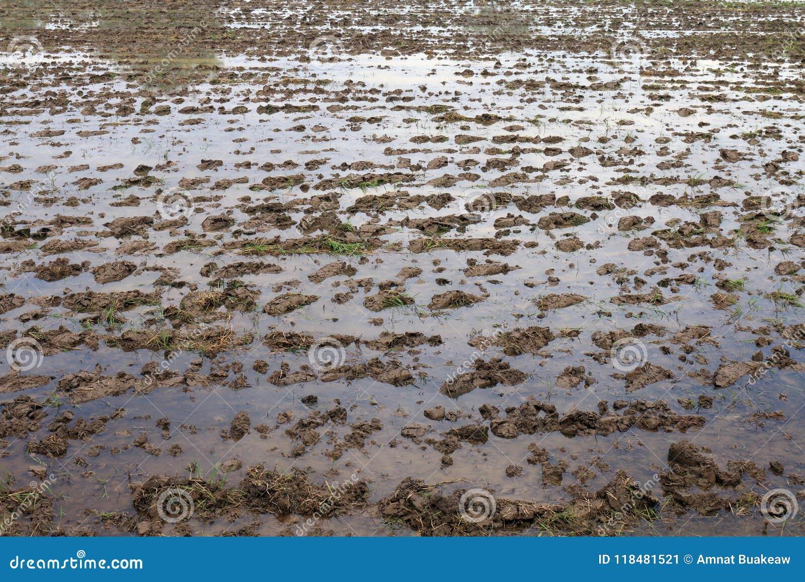 Sol humide de boue pour la culture de riz, agriculture humide de complots au sol se préparant à cultiver la culture de riz, argil