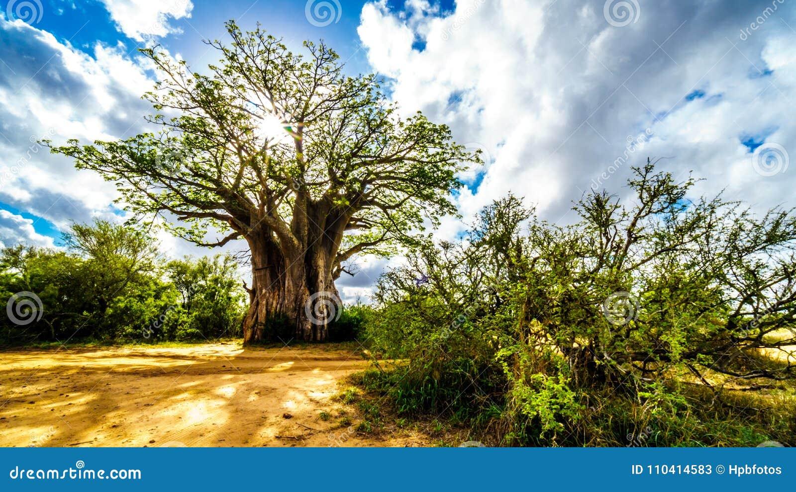Sol som skiner till och med ett Baobabträd i den Kruger nationalparken